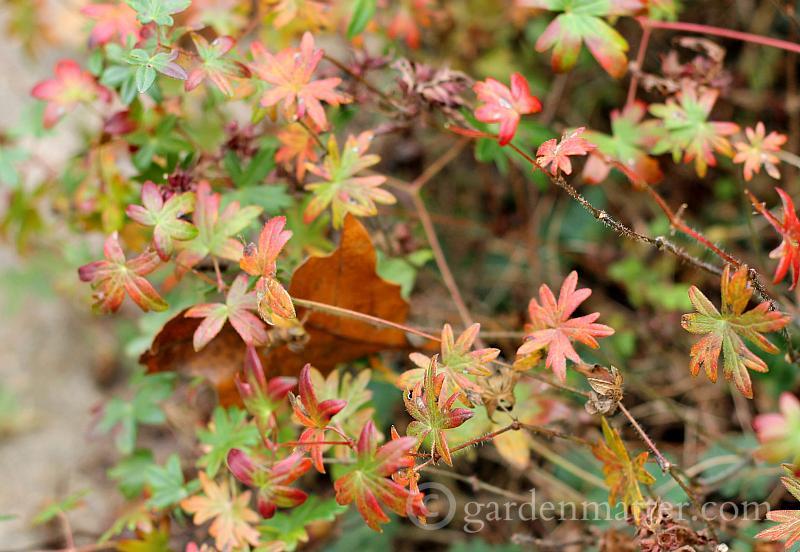 Geranium fall color