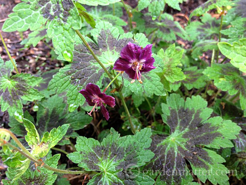 geranium phaeum samobor ~ hardy geraniums