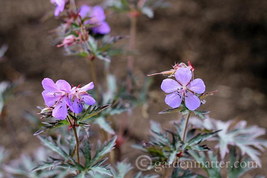 Geranium pratense 'Okey Dokey' ~ hardy geraniums