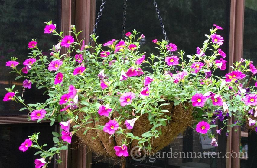 Hanging Basket ~ Calibrachoa ~gardenmatter.com