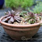 Growing Hens & Chicks: The Hardy Succulents
