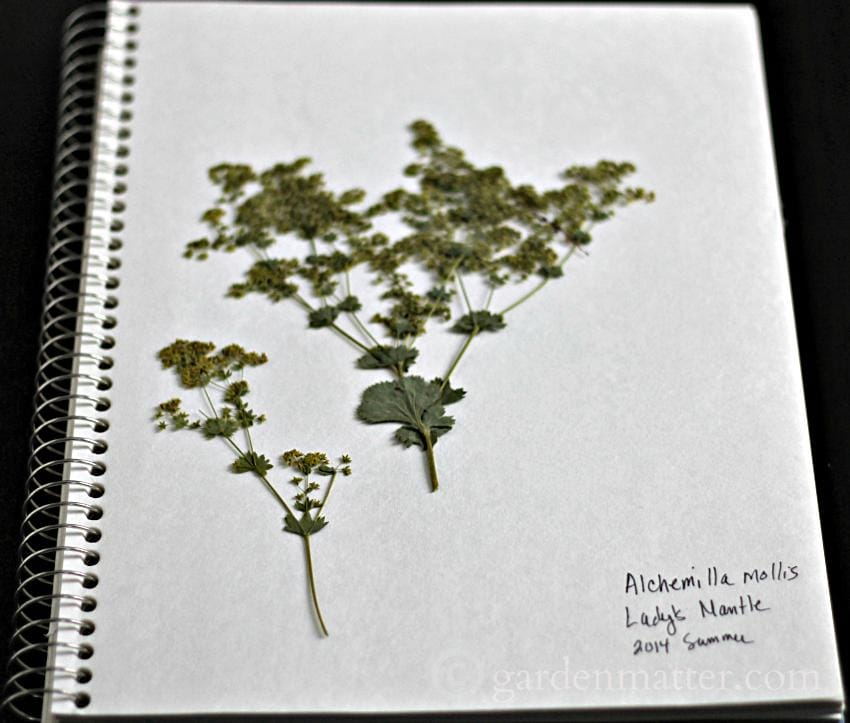 Herbarium page with Lady's Mantle ~ gardenmatter.com