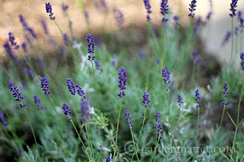 English vs French Lavender ~ Top 10 posts of 2015 ~ gardenmatter.com