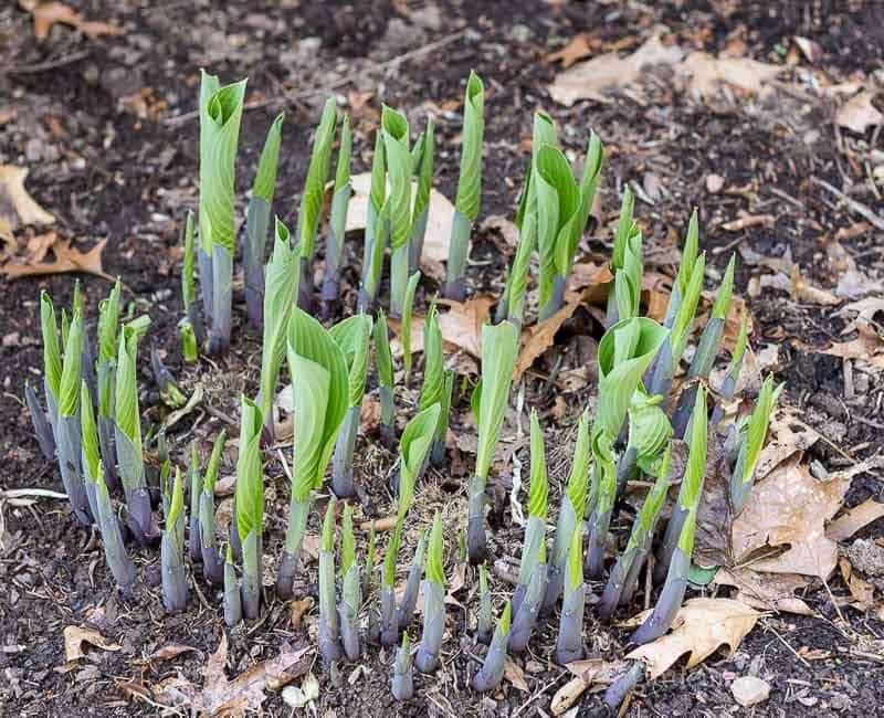 Hosta ~ Dividing Perennials ~ gardenmatter.com