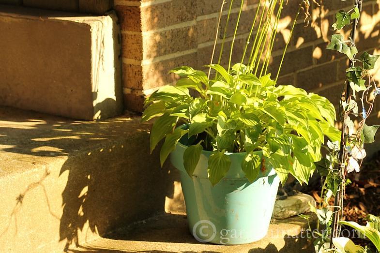 Chartreuse hosta in a blue pot