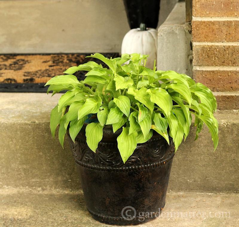 Little chartreuse hosta in a brown pot