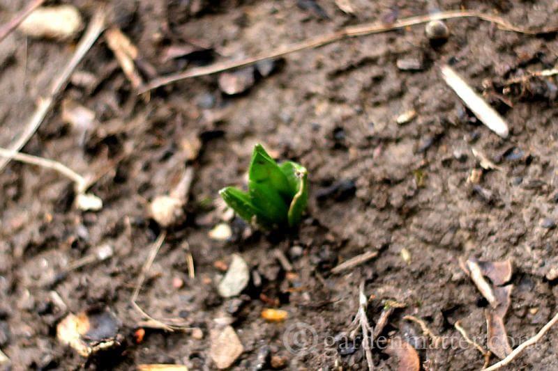 Hyacinth - crazy winter garden weather - gardenmatter.com