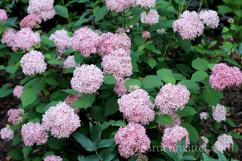 Hydrangea arborescens 'Incredibelle Spirit'- new garden ideas - gardenmatter.com