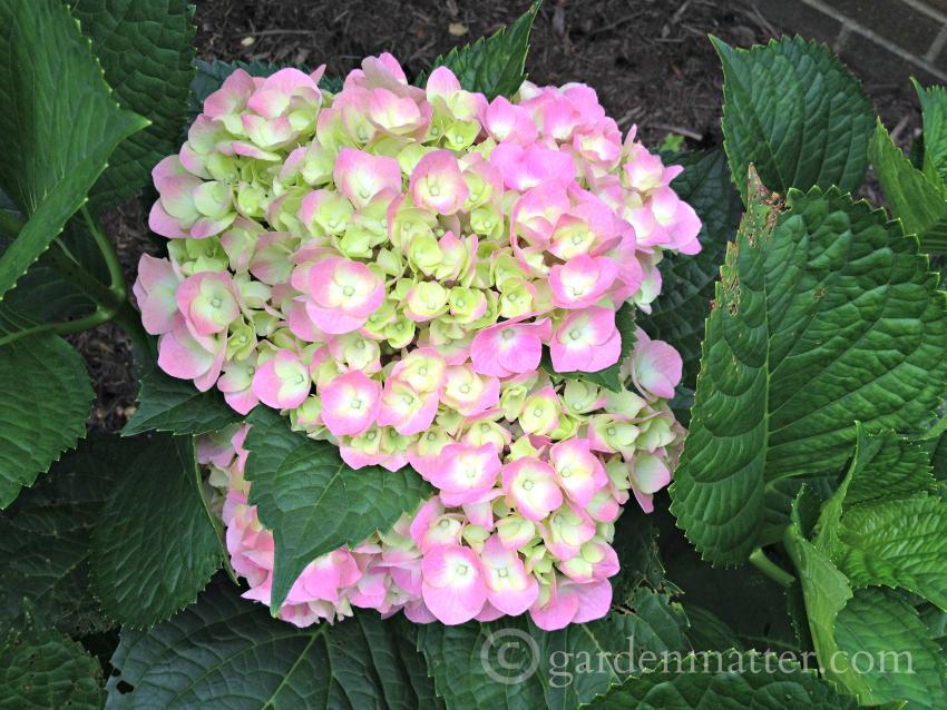 Hydrangea macrophylla 'Cityline' ~ tips on growing hydrangeas ~ gardenmatter.com