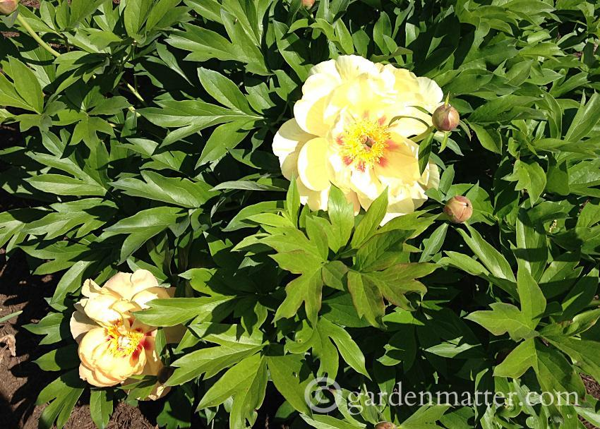 Itoh peony shrub in full bloom