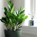 Indoor Plant Ideas The ZZ Plant - gardenmatter.com