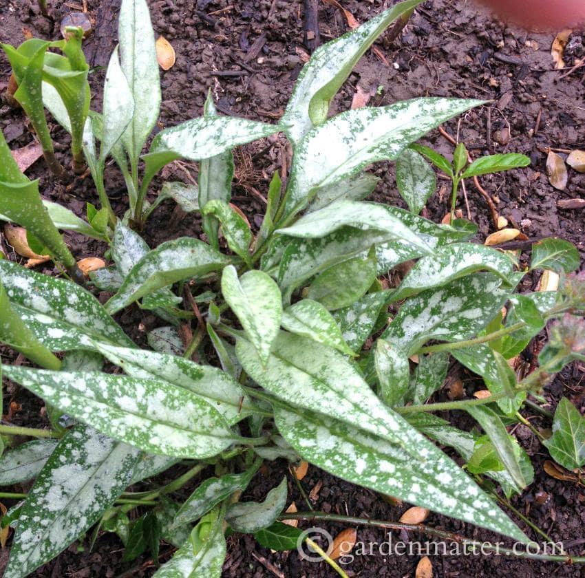 Lungwart foliage