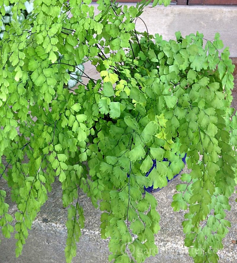 Maidenhair Fern: A Delicate Beauty