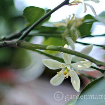 Meyer Lemon Blossoms gardenmatter.com