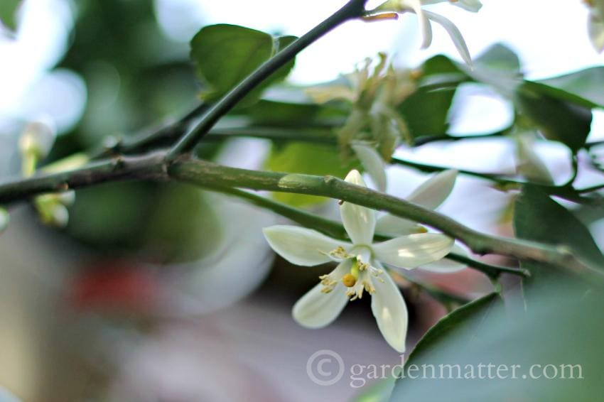 Lemon Tree – Very Pretty
