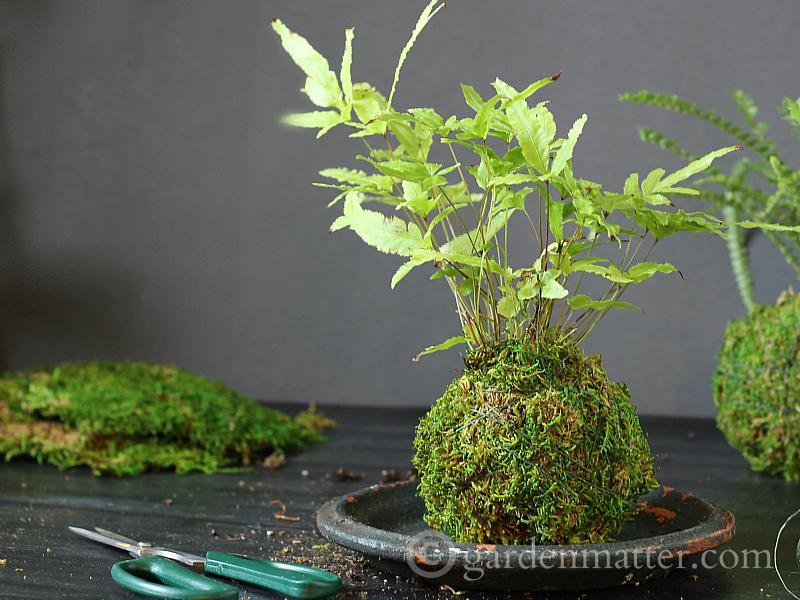 Moss ball on dish - kokedama string garden - gardenmatter.com