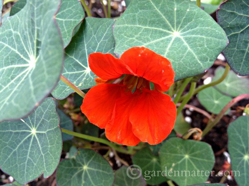 Nasturiums ~Favorite Annual Flowers