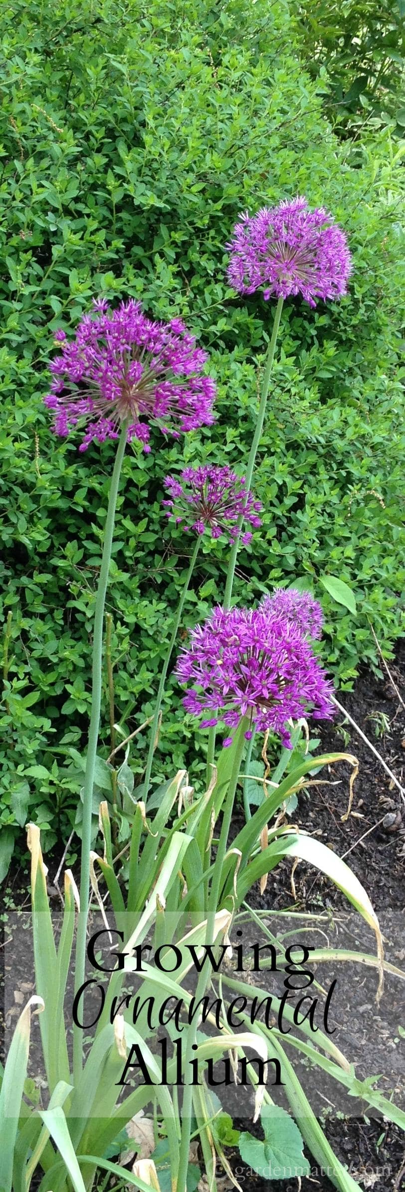 Plant ornamental Allium for easy spring blooms and pretty seedheads.