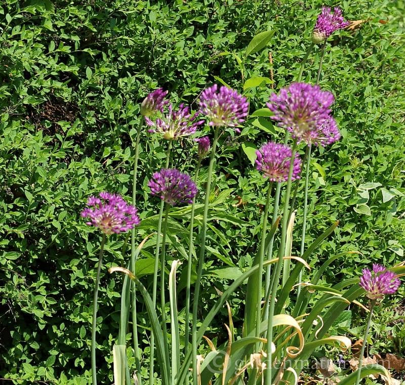 Ornamental Alliums for the spring