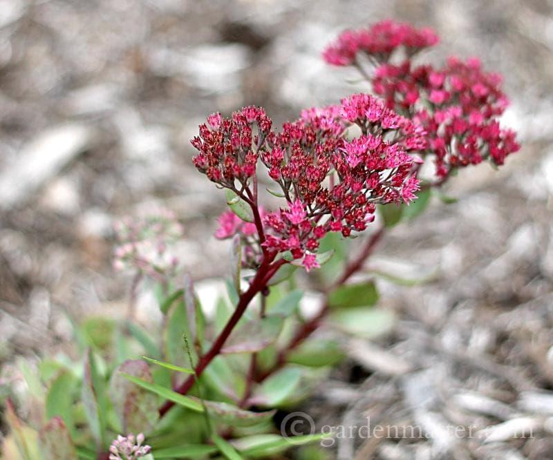 Ground cover sedum blooms