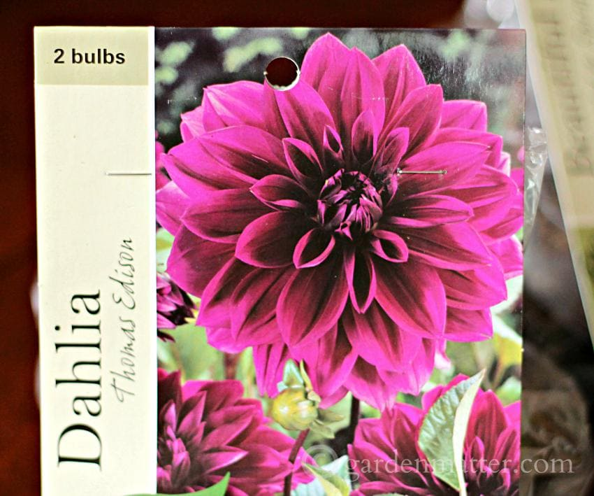 Pkg Dahlia Thomas Edison Bulbs ~growing beautiful dahlias