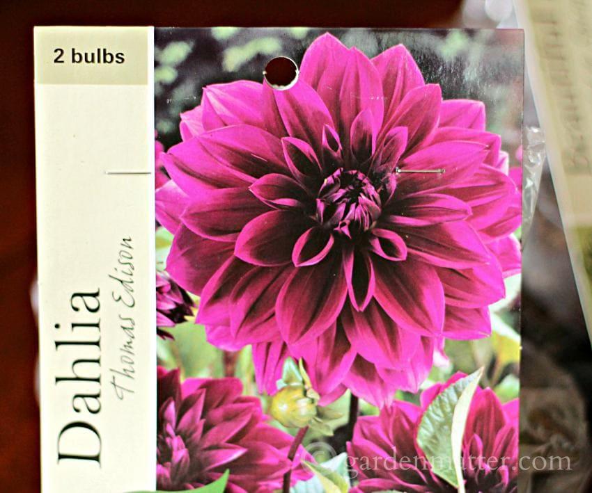 Pkg Dahlia Thomas Edison Bulbs ~gardenmatter.com