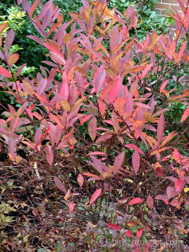 Itea fall leaves
