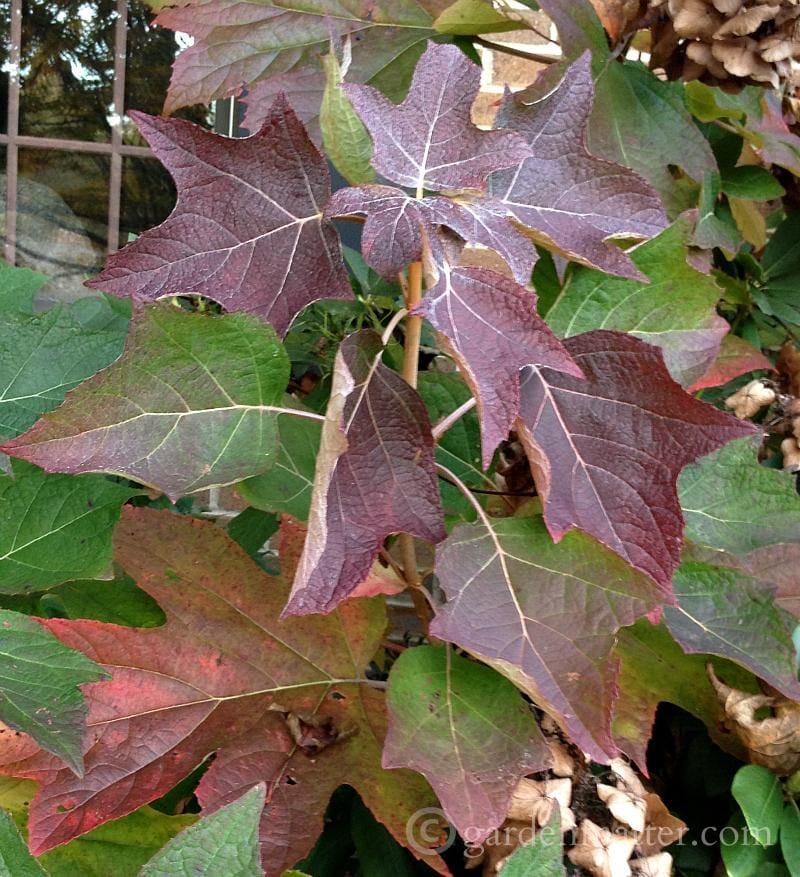 Oakleaf hydrangea fall leaves