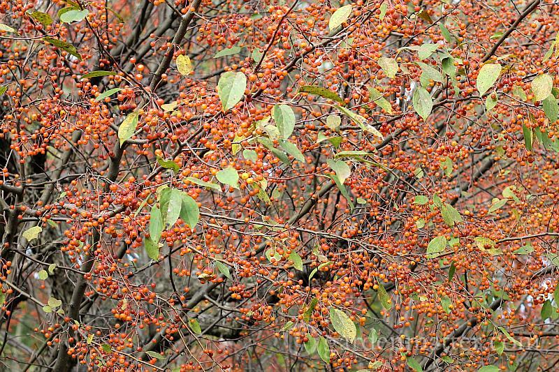 Crabapple with orange berries in fall.