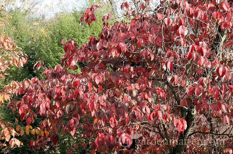 Dogwood leaves in fall