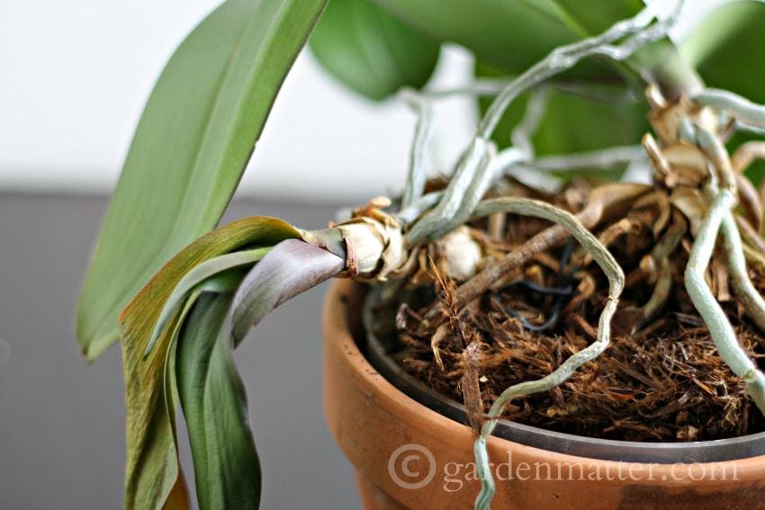Orchids jumping out of the pot ~ gardenmatter.com