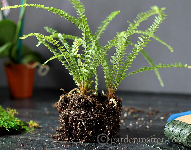 Prepare plant - kokedama string garden - gardenmatter.com
