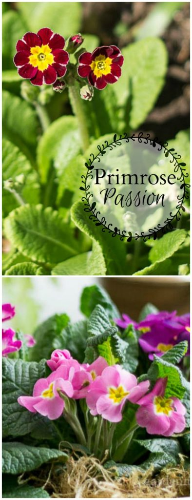 Learn about this pretty spring bloomer and the many different yet all beautiful types and why many have a primrose passion.