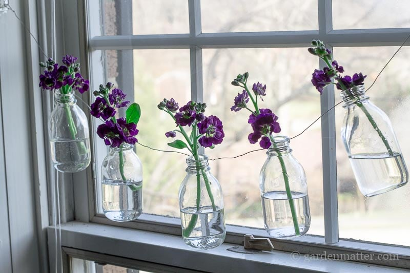Purple Stock in bottles ~ Bottle Garland ~ gardenmatter.com