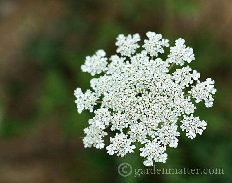 Close up of Queen Anne's Lace flower head.