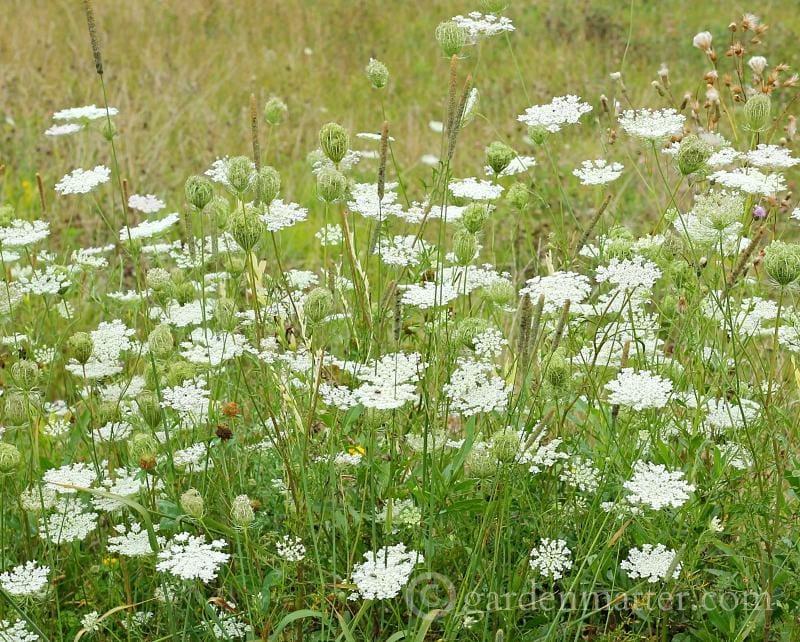 Queen Anne's lace field of flowers