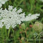 Queen Anne's Lace: An Interesting and Beautiful Wildflower