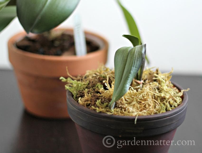 Did you know orchids were easy to grow? How do you know when it's time to re-pot? ~gardenmatter.com
