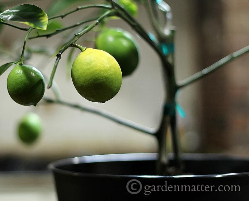 Repotting My Dwarf Meyer Lemon Tree
