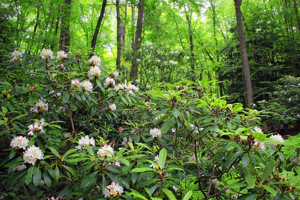Rhododendrons are a good choice for the landscape with showy flowers in the spring and beautiful large dark green leaves even in the winter.