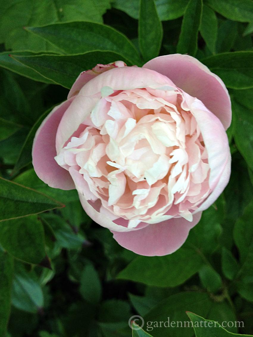 View a nice peony portfolio and learn the differences between herbaceous, tree and Itoh varieties.