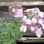 Scented Geranium Flower ~ gardenmatter.com