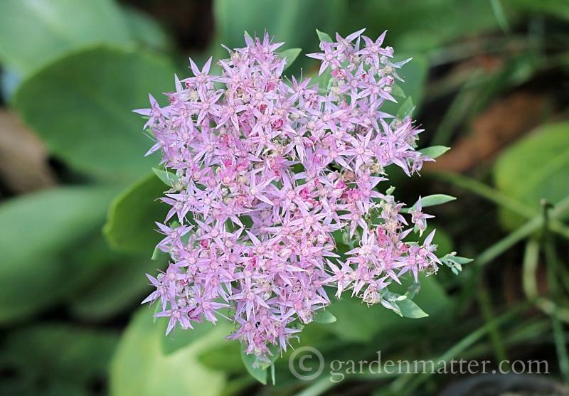 Sedum 'Brilliant' bloom