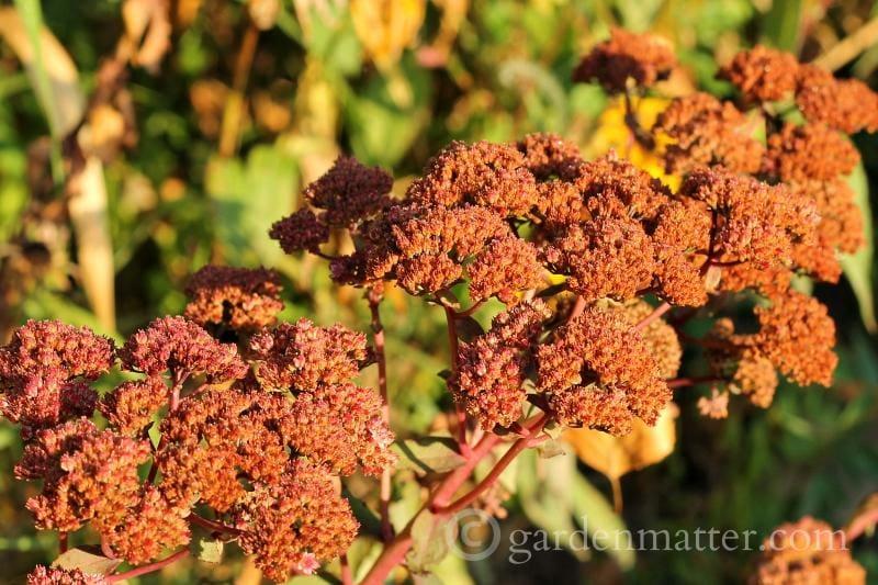 Sedum flowers dried on the plant