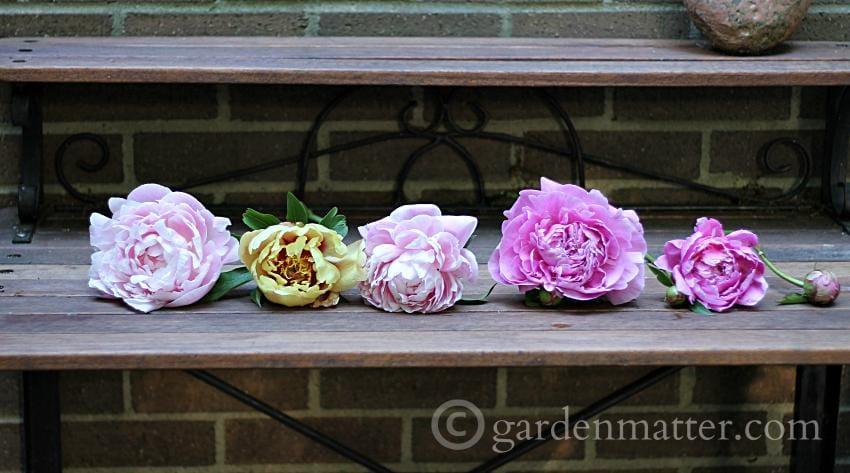 Fresh Picked Peonies - Shadow Box Dried Peonies ~gardenmatter.com