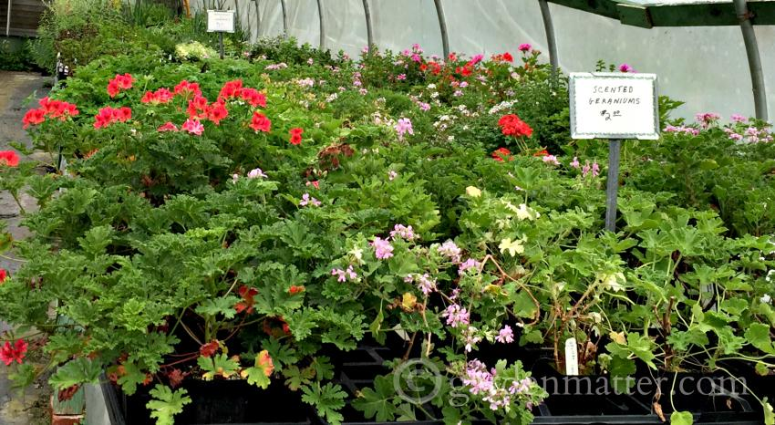 Shields Scented Geraniums ~ gardenmatter.com