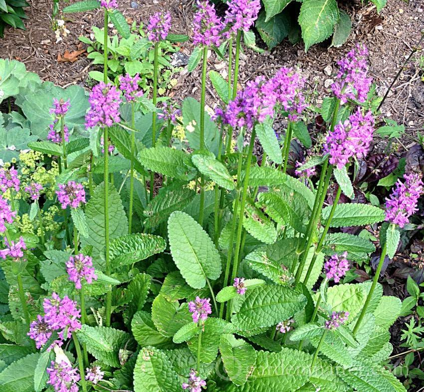 Betony - Stachysofficinalis 'Rosea'