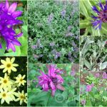 Sun Loving Perennials- 7 Top Picks Worth Planting