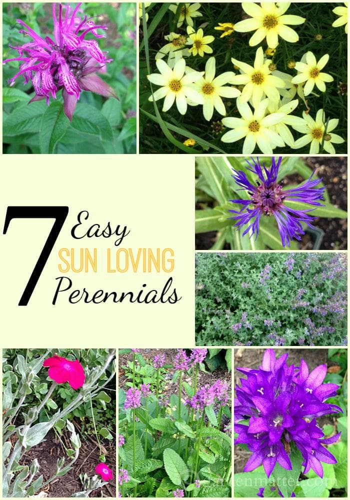 Here are 7 great choices for sun loving perennials that are easy to grow, deer and drought resistant, attract butterflies and bees and work well in cut flower arrangements.