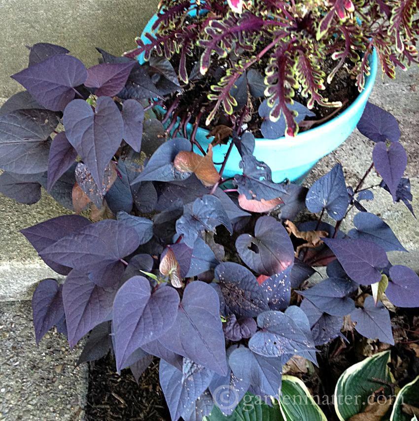 Sweet Potato Vine ~Favorite Annual Flowers